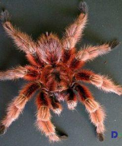Bán nhện cảnh red-g.rose tarantula tại các cửa hàng của Dogily Petshop.
