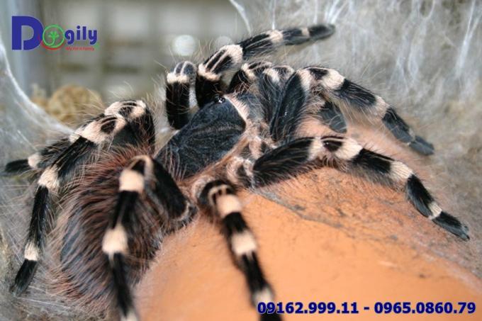Nhện chân trắng White Knee Tarantula