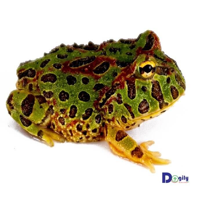 Bạn nên lưu ý giữ cho chuồng, bể nuôi ếch cảnh luôn sạch sẽ, gần với điều kiện sống tự nhiên của chúng nhất.