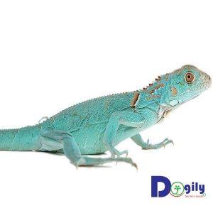 Rồng Nam Mỹ Blue Iguana tại Dogily Petshop.