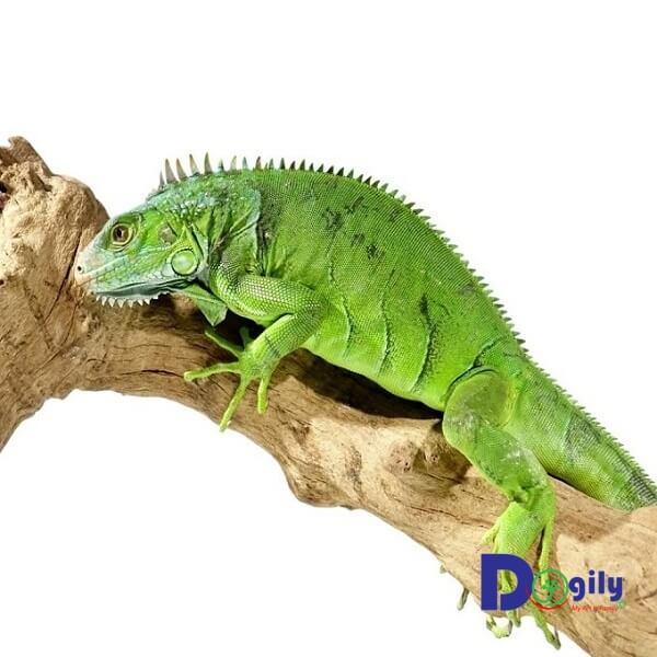Rồng Nam mỹ xanh Green Iguana thích hợp với phong thủy cho những người mạn Hỏa, Mộc.