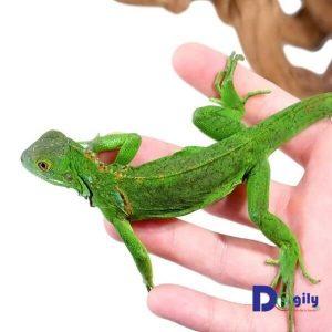 Rồng Nam Mỹ xanh Green Iguana tại Dogily Petshop.