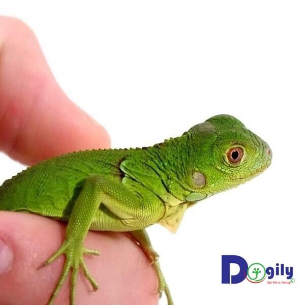 Rồng Nam Mỹ Xanh Green Iguana khá dễ nuôi. Bạn có thể cho chúng ăn rau củ hoặc thức ăn chế biến sẵn đóng gói.