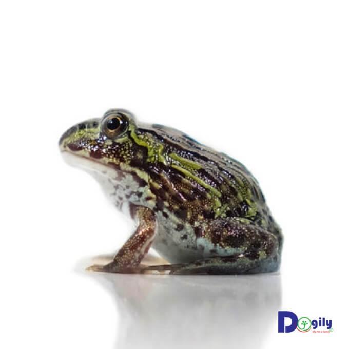 African Bull Frog có xuất xứ từ châu Phi trong các cánh rừng rậm nhiệt đới.