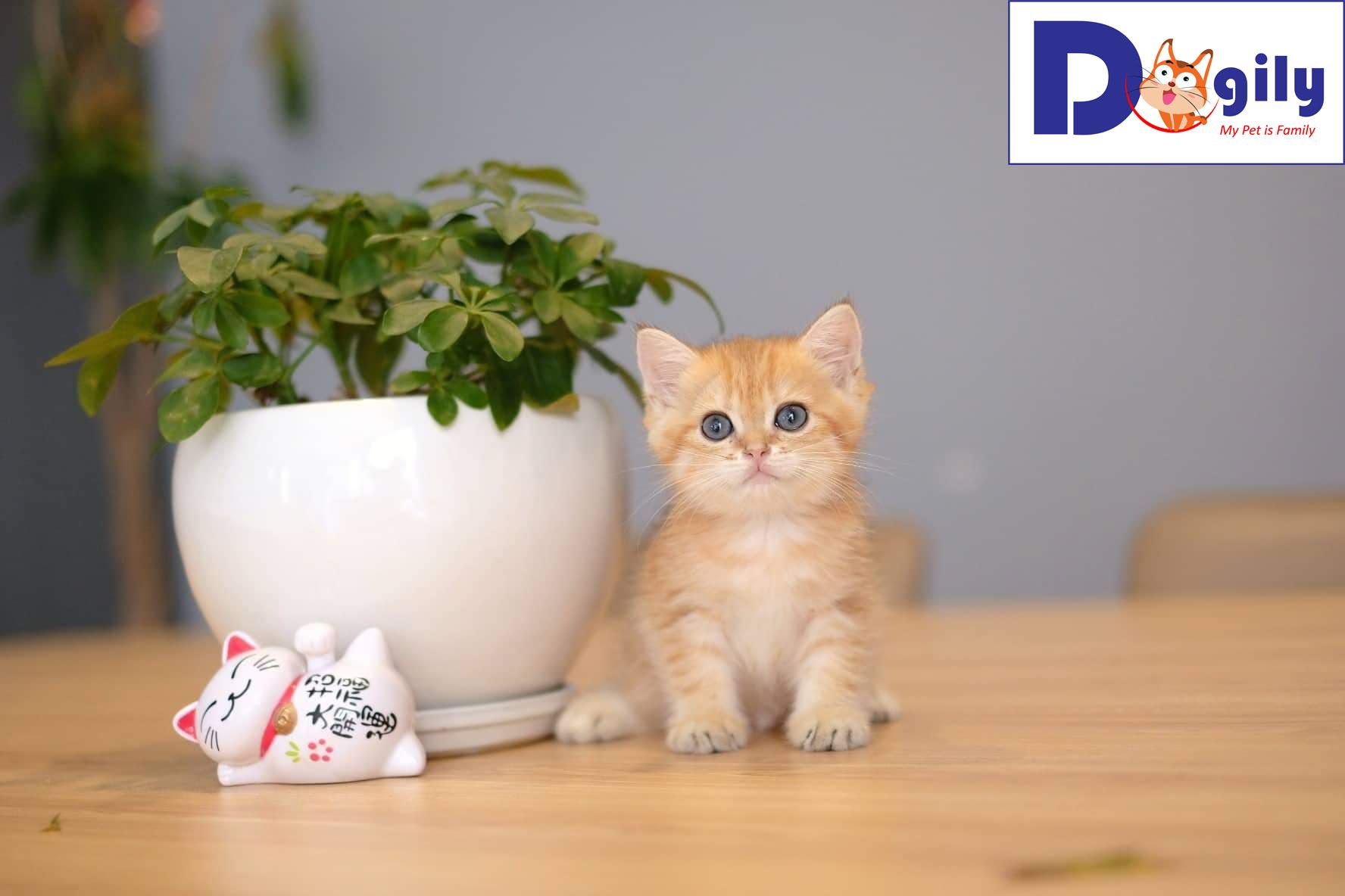 Bán đàn mèo Anh lông ngắn golden 3 tháng tuổi cực đẹp tháng 8
