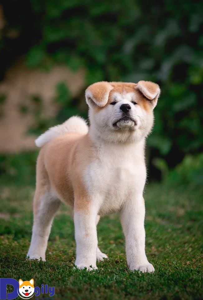 [ Hot tháng 8 ] Mở bán chú chó con Akita cực thông minh và kháu khỉnh | Ai yêu bé nào <3