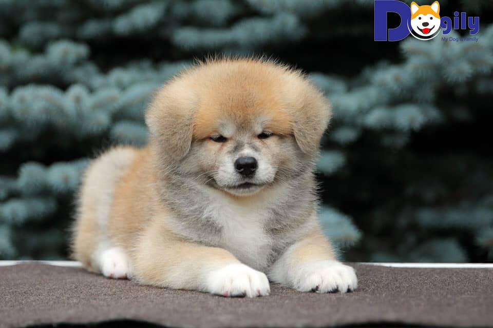 Bán chó Akita nhập khẩu mới nhất | Chó Akita Inu mủm mĩm dễ thương ( MS : 81919 )