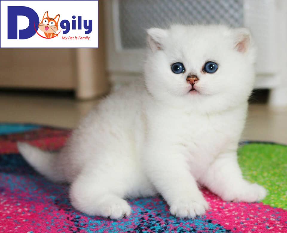 Mèo Anh lông ngắn Silver quý tộc | Mở bán bé mèo Anh quý tộc siêu dễ thương