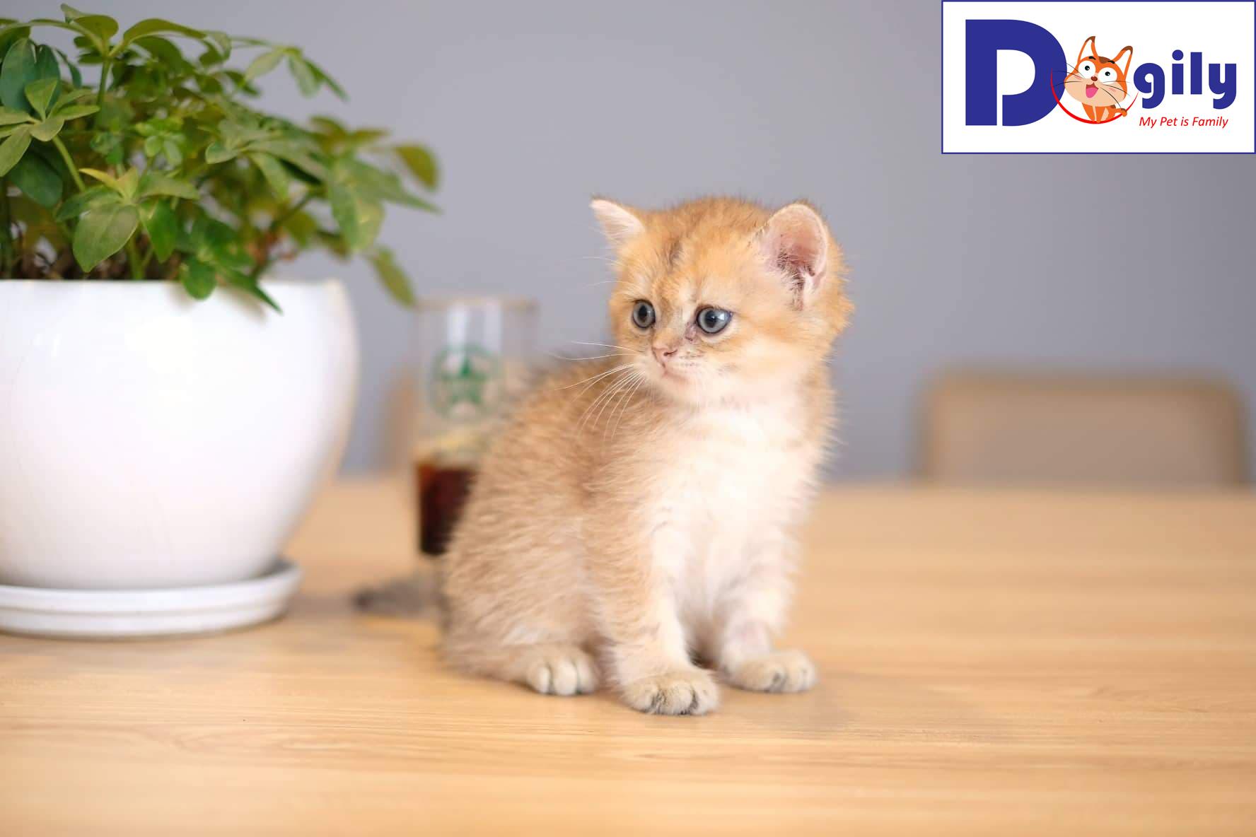 Mèo Anh lông ngắn Golden xinh đẹp 2 tháng tuổi | Dòng mèo cao cấp mở bán tháng 8