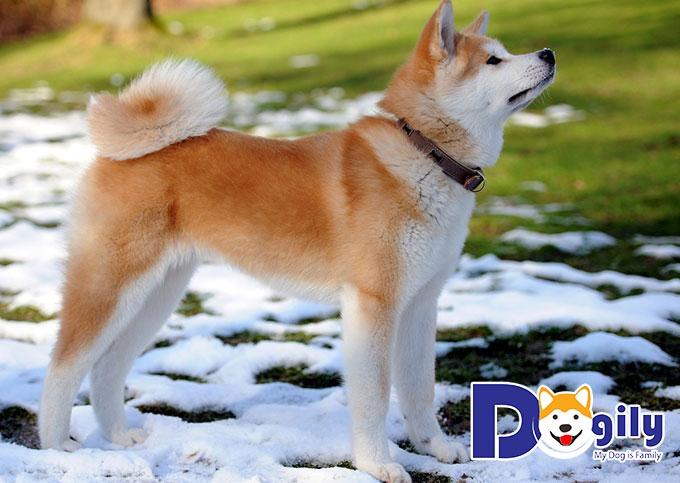 Akita Inu - những con chó đẹp nhất