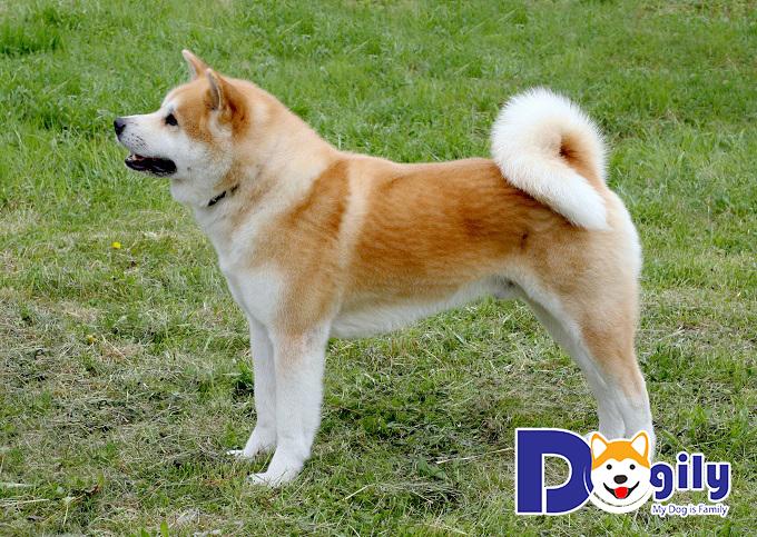 Akita - những con chó đẹp Nhật Bản