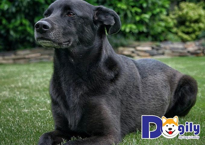 Bạn có biết chó mực là giống chó như thế nào hay không?