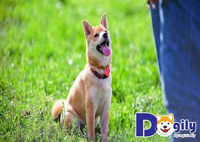 Việc huấn luyện chó yêu cầu người thực hiện phải có kỹ năng tốt, thành thục và kiên nhẫn