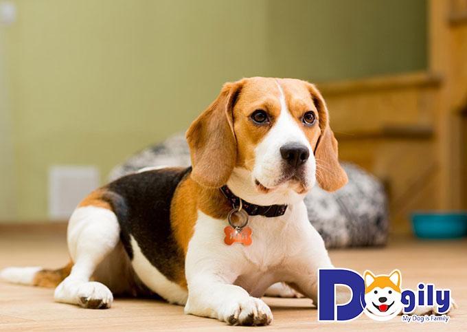 Beagle là một trong những giống chó đẹp nhất thế giới