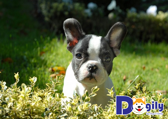 Bull Pháp - những giống chó đẹp