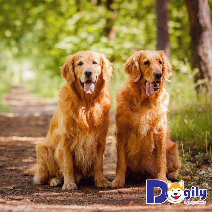Các loại chó đẹp - Golden Retriever