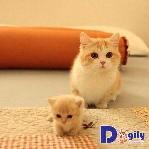 Cách chăm sóc mèo Munchkin
