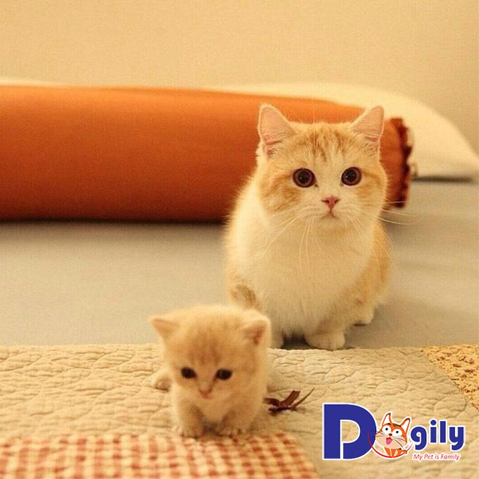 Mèo Munchkin giá bao nhiêu? – Bảng giá mèo Munchkin hiện nay