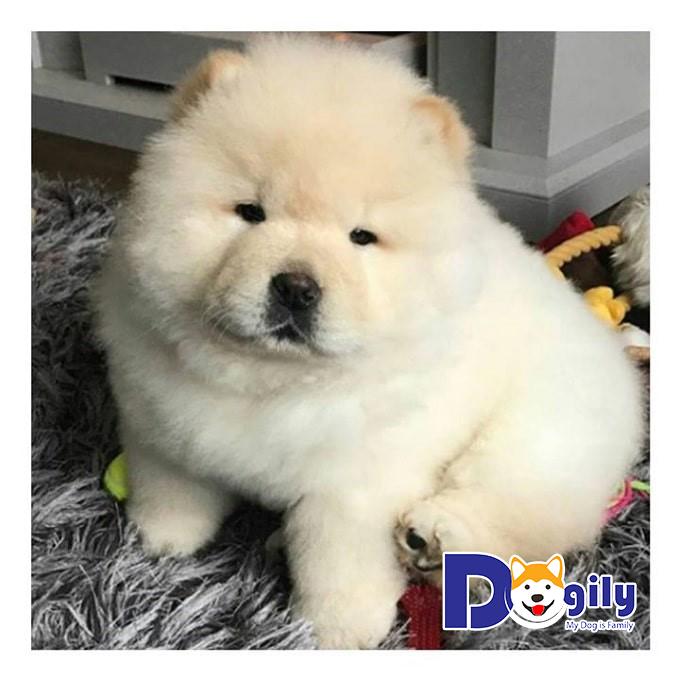 Giống chó Chow Chow – Giống chó đáng yêu đến từ Trung Quốc