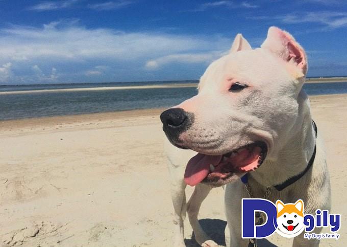 Cách nuôi chó Dogo Argentino