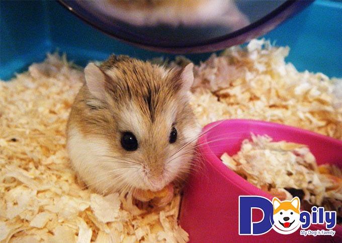 Cẩm nang cách nuôi hamster