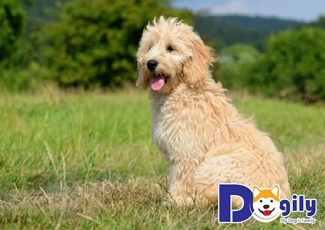 Cần tìm hiểu trước khi mua Poodle
