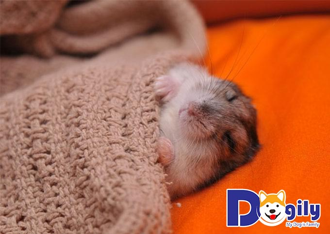 Chăm sóc việc sinh sản của các bé Hamster