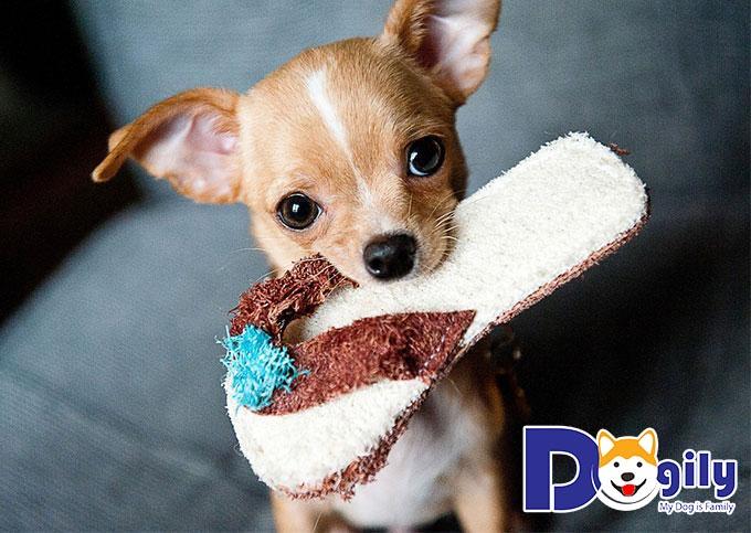 Chihuahua dễ thương - chú chó đẹp nhất