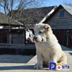 Chó Alabai trưởng thành giống đực thông thường sẽ có cân nặng trung bình từ 55kg cho đến 79kg
