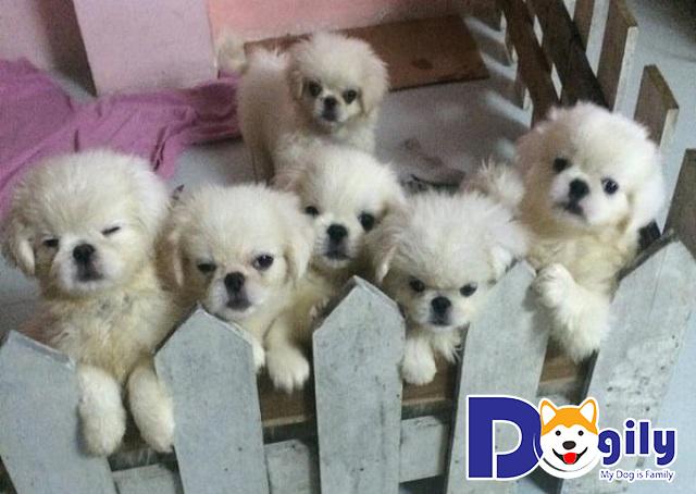 Chó Bắc Kinh Nhật có dễ nuôi không?