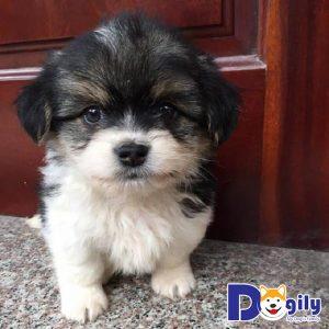 Chó Bắc Kinh giá bao nhiêu?