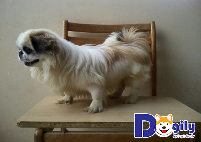 Chó Bắc Kinh lai Nhật có khôn không?