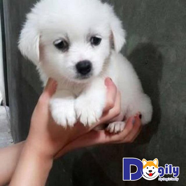 Chó Bắc Kinh lai nhật bao nhiêu kg? Hình dáng như thế nào?