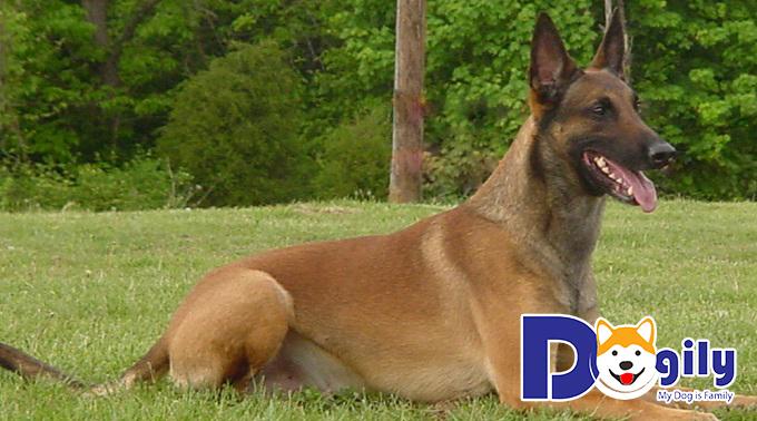 Chó Béc Bỉ có nguồn gốc từ chó Béc Giê Đức