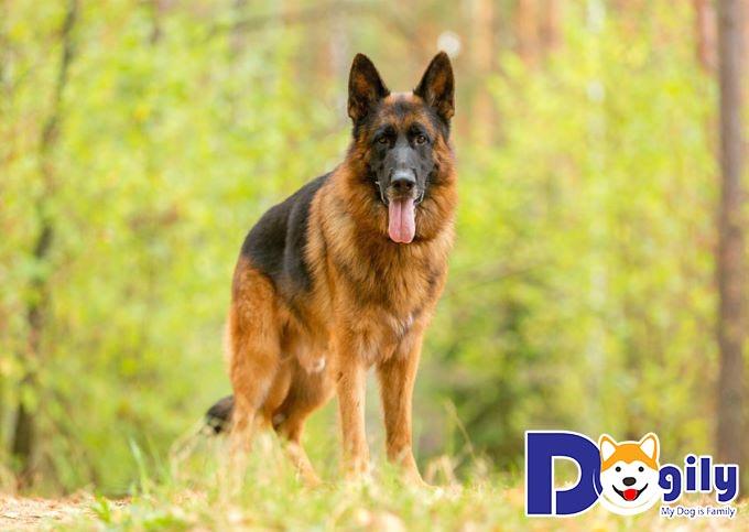 Chó Becgie Đức