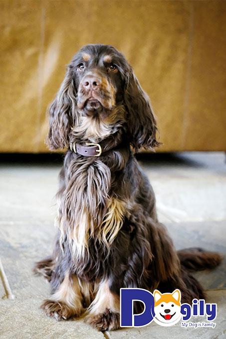 Chó Cocker Spaniel có ngoại hình vô cùng dễ thương và tính cách thân thiện