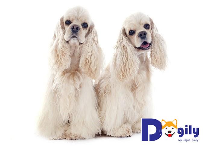 Chó Cocker Tây Ban Nha giá bao nhiêu?