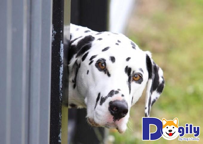 Chó Đốm được tìm thấy lần đầu ở đâu?