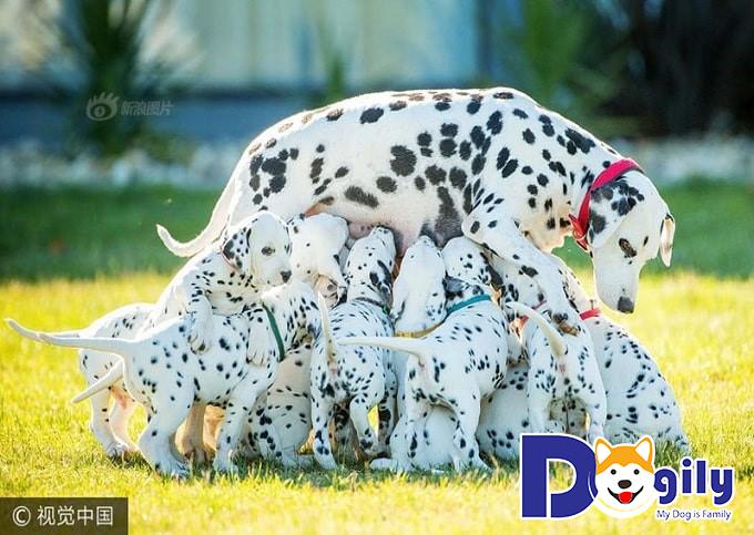 Chó Đốm và sự xuất hiện trên màn ảnh lần đầu
