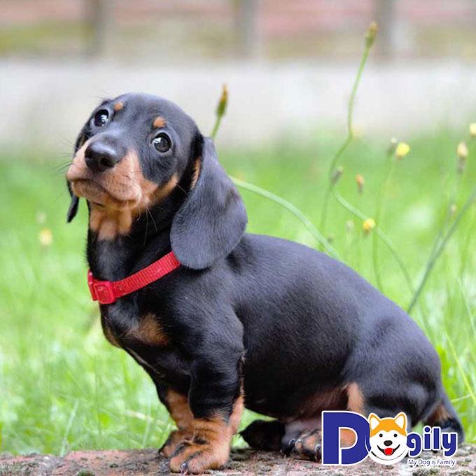Chó Lạp Xưởng hay Dachshund là giống chó có nguồn gốc từ Đức