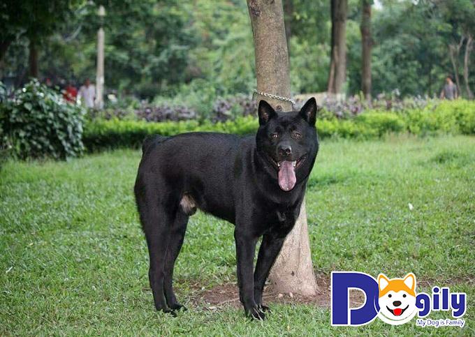 Chó Mông Cộc có nguồn gốc từ loài sói hoang
