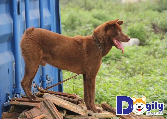 Chó Mông Cộc lông màu hung đỏ