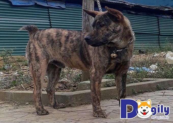 Chó Mông Cộc với chiếc đuôi đặc trưng