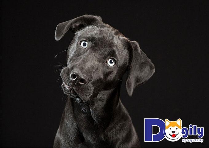 Chó Mực có thể nhận biết được tà khí?