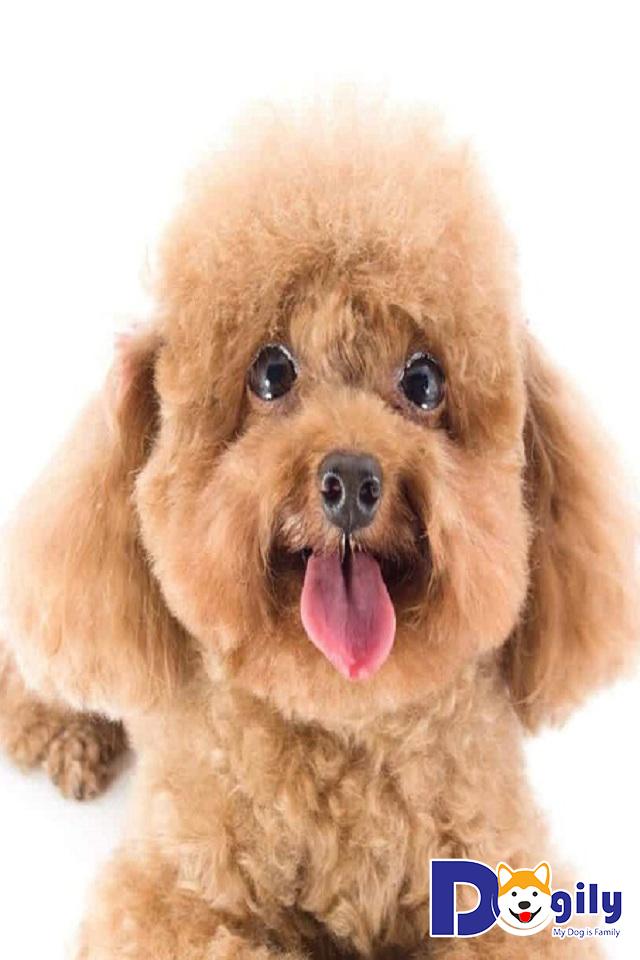 Chó Poodle được ưa chuộng hiện nay