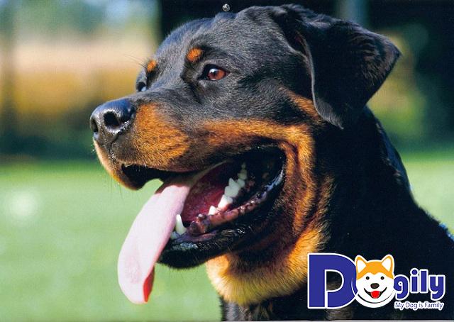 Chó Rottweiler có thân hình săn chắc hơn