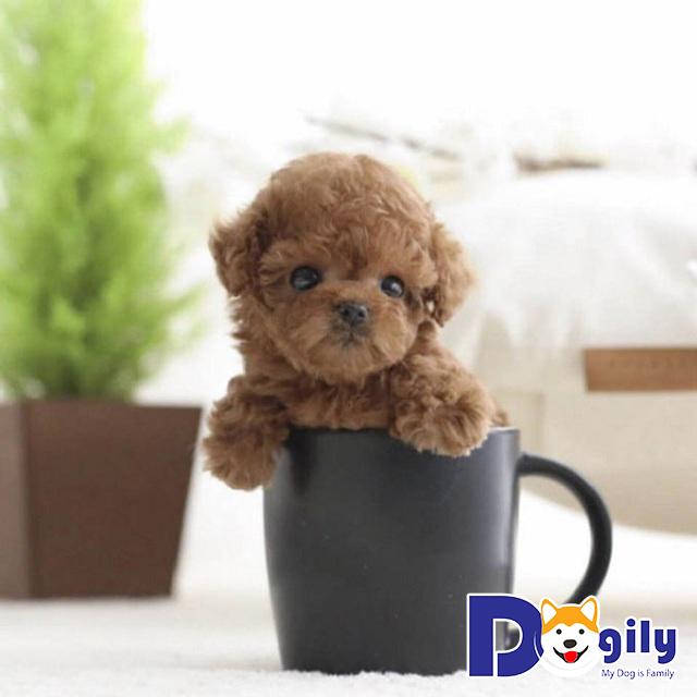 Chó Teacup Poodle – Giống chó đáng yêu chinh phục mọi trái tim
