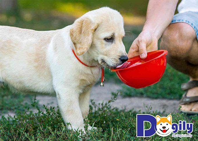 Cho chó uống nhiều nước