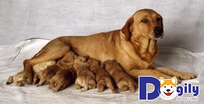 Chăm chó đẻ: Khó hay dễ? những điều cần lưu ý khi chăm chó đẻ là gì?