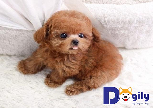 Chó con Poodle cực dễ thương